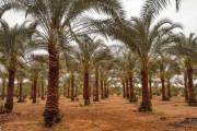 «الزراعة» تقرر مشاركة أصحاب مزارع  النخيل تكاليف مكافحة السوسة الحمراء