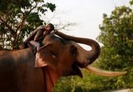 تايلاند.. فيل بري يتعرف على بيطري عالجه قبل 12 عاما (صور)