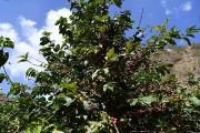 زراعة البن في جازان.. رافد اقتصادي وإرث تاريخي توارثته الأجيال