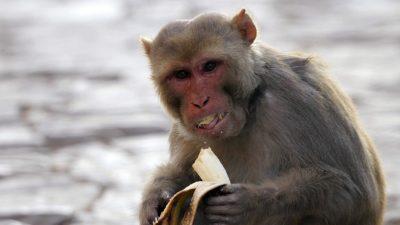 السجن المؤبد لقرد مدمن للكحول جراء قتله شخصا وإصابة 250 آخرين